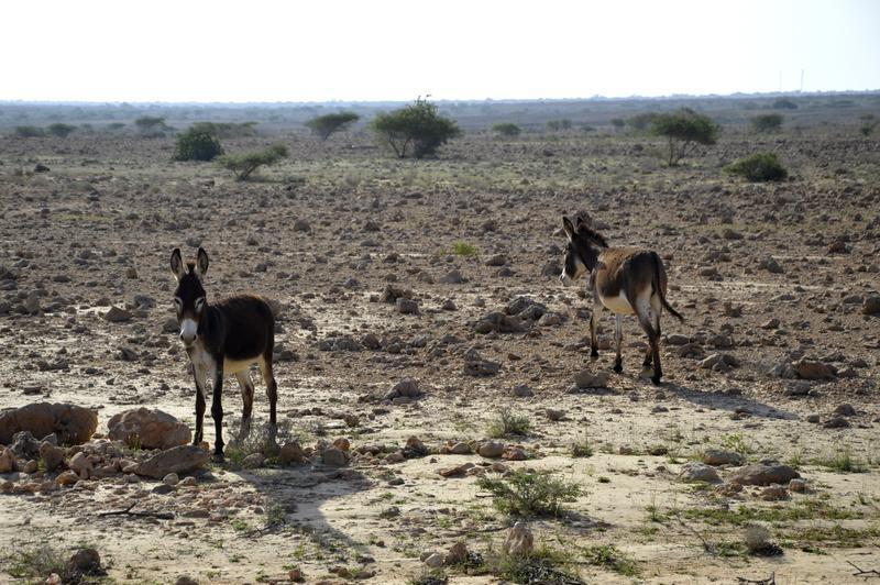 Poleg kamel in koz se ob cesti pasejo tudi osli