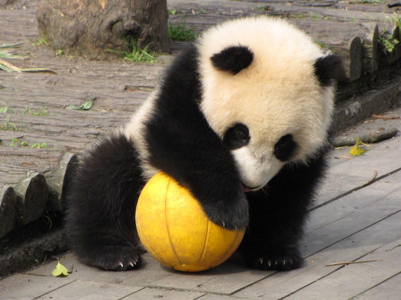 Ya'an Bifeng Xia panda base of CCRCGP