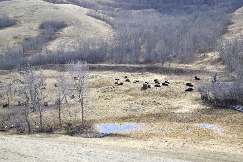 Bizoni v Buffalo pound provincial park.