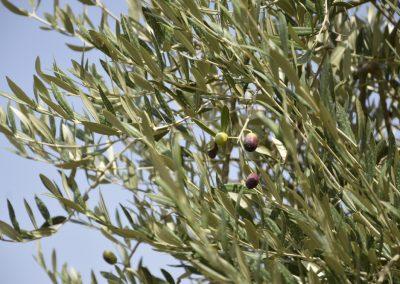 Nasadi oliv