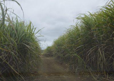 Vožnja med sladkornimi trsi