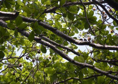 Mauricijski sadjejedi netopirji