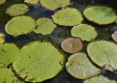 Orjaške vodne lilije, Botanični vrt Pamplemonses